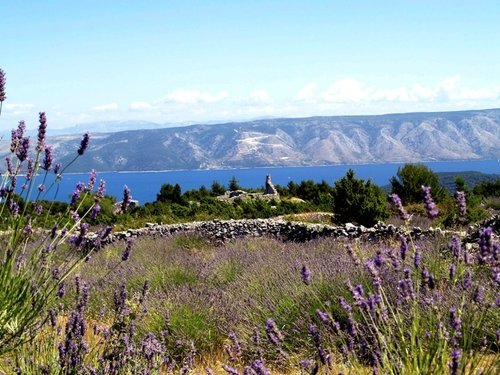 Discover the fields of lavender On the island Hvar